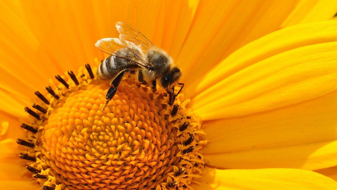Et si les abeilles venaient à disparaître ? Les gestes simples pour agir avant qu'il ne soit trop tard